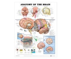 """Anatomy of the Brain"" Chart 20""w x 26""h"